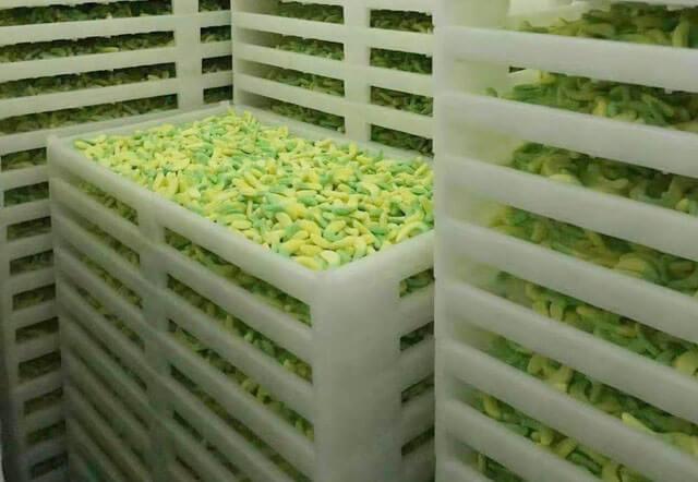 gummy in drying room